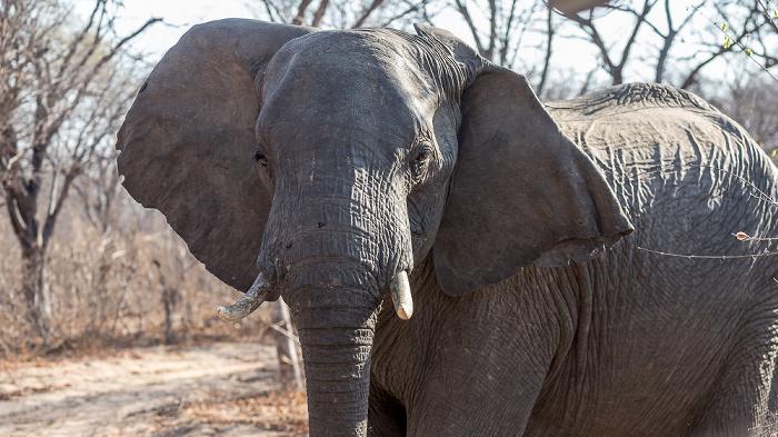 Sikumbi Forest Reserve Afrikanischer Elefant (Loxodonta africana)