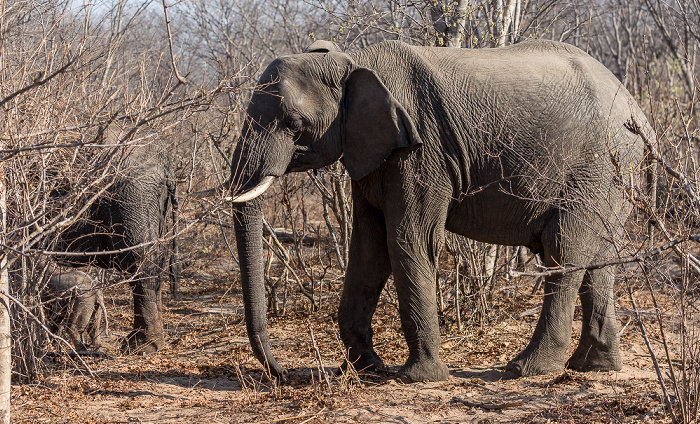 Sikumbi Forest Reserve Afrikanische Elefanten (Loxodonta africana) mit Baby