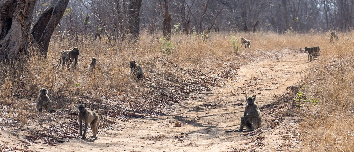 Sikumbi Forest Reserve Bärenpaviane (Tschakma, Papio ursinus)