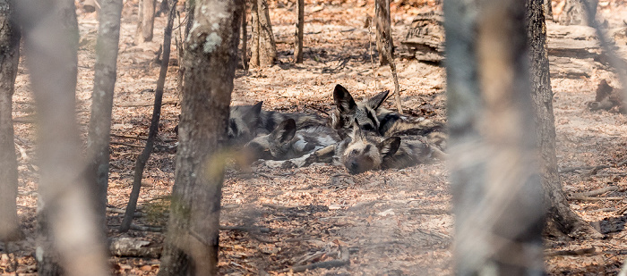 Sikumbi Forest Reserve Painted Dog Conservation: Afrikanische Wildhunde (Lycaon pictus)