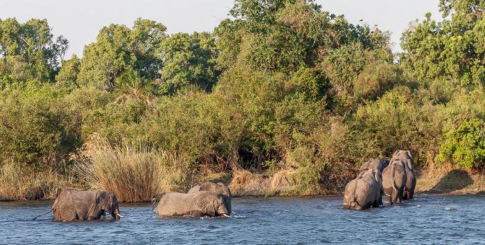 Victoria Falls Sambesi: Afrikanische Elefanten (Loxodonta africana)