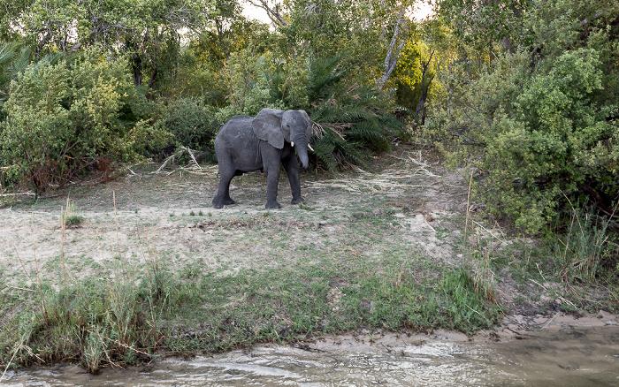 Victoria Falls Afrikanischer Elefant (Loxodonta africana)