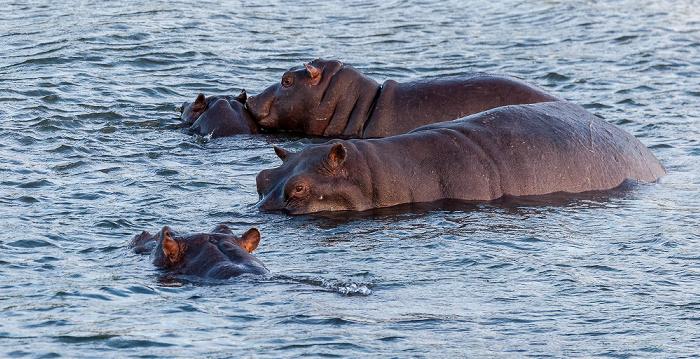 Livingstone Sambesi: Flusspferde (Nilpferd, Hippopotamus amphibius)