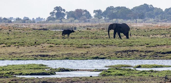 Chobe National Park Kaffernbüffel (Schwarzbüffel, Afrikanische Büffel, Syncerus caffer), Afrikanischer Elefant (Loxodonta africana)