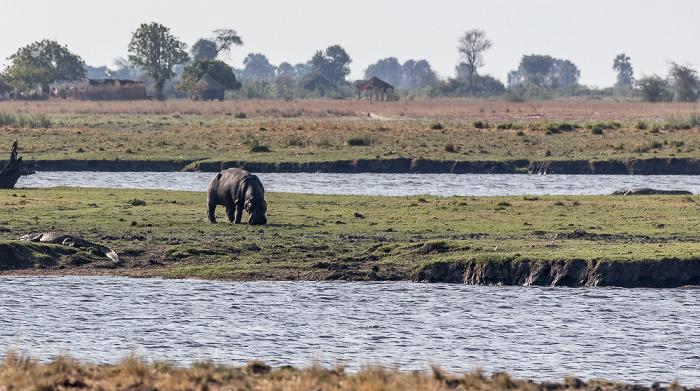 Chobe National Park Flusspferd (Nilpferd, Hippopotamus amphibius)