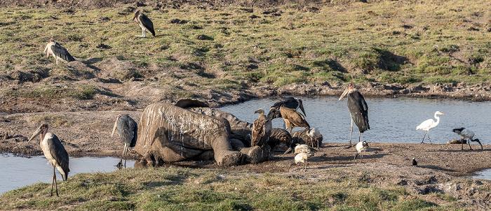 Chobe National Park Toter Afrikanischer Elefant (Loxodonta africana)