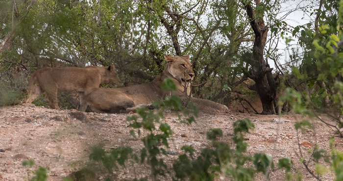 Chobe National Park Löwin (Panthera leo)