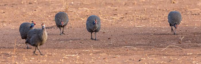 Chobe National Park Helmperlhühner (Numida meleagris)
