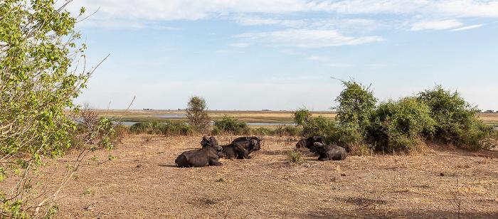 Chobe National Park Kaffernbüffel (Schwarzbüffel, Afrikanische Büffel, Syncerus caffer)