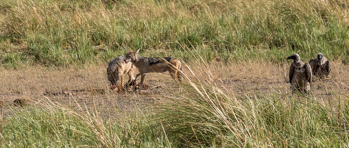Chobe National Park Schabrackenschakale (Canis mesomelas) und Altweltgeier (Aegypiinae)