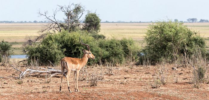 Chobe National Park Impala (Aepyceros)