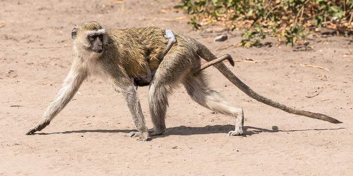 Chobe National Park Südliche Grünmeerkatzen (Chlorocebus pygerythrus)