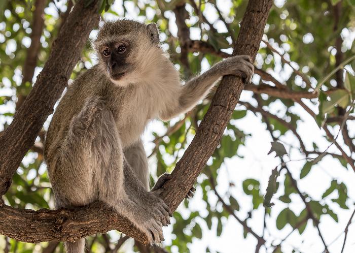 Chobe National Park Südliche Grünmeerkatze (Chlorocebus pygerythrus)