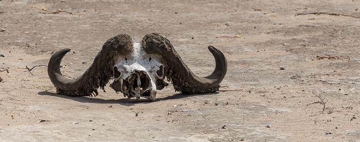 Chobe National Park Schädel eines Kaffernbüffel (Schwarzbüffel, Afrikanische Büffel, Syncerus caffer)