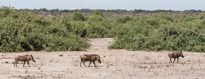 Chobe National Park Warzenschweine (Phacochoerus africanus)