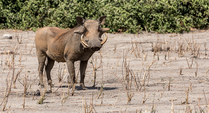 Chobe National Park Warzenschwein (Phacochoerus africanus)