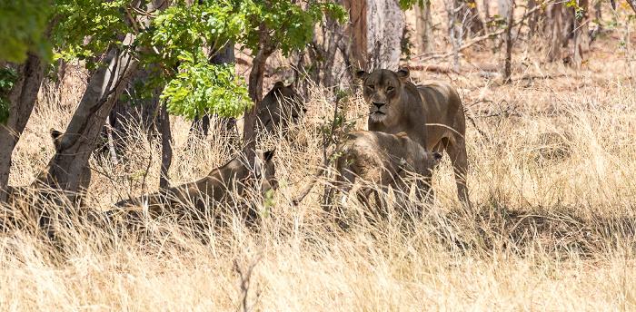 Chobe National Park Löwen (Panthera leo)