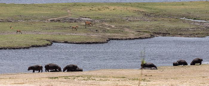 Chobe National Park Flusspferde (Nilpferd, Hippopotamus amphibius) und Impalas (Aepyceros)