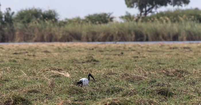 Chobe National Park Heiliger Ibis (Threskiornis aethiopicus)