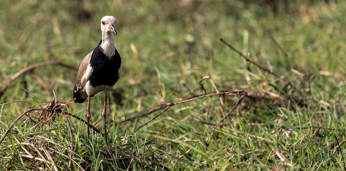 Chobe National Park Langzehenkiebitz (Vanellus crassirostris)