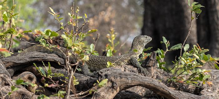 Chobe National Park Waran (Varanus)