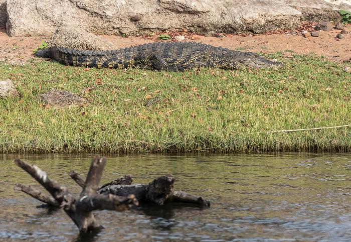 Chobe National Park Nilkrokodil (Crocodylus niloticus)