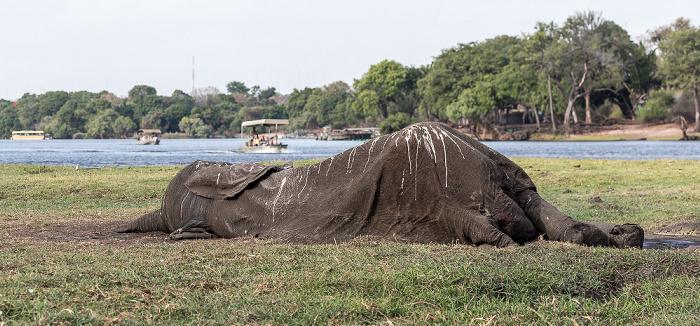 Chobe National Park Toter Afrikanischer Elefant (Loxodonta africana), Nilkrokodile (Crocodylus niloticus)