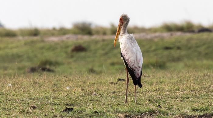 Chobe National Park Nimmersatt (Mycteria ibis)