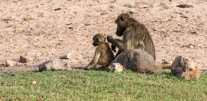 Chobe National Park Bärenpaviane (Tschakma, Papio ursinus)