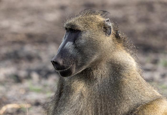 Chobe National Park Bärenpavian (Tschakma, Papio ursinus)