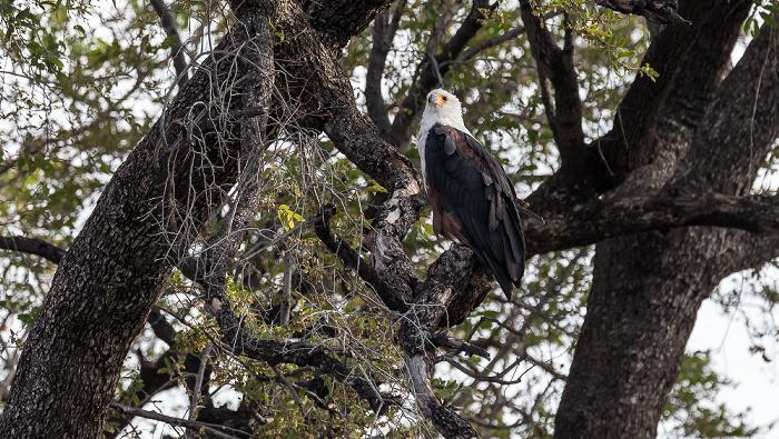 Chobe National Park Schreiseeadler (Haliaeetus vocifer)