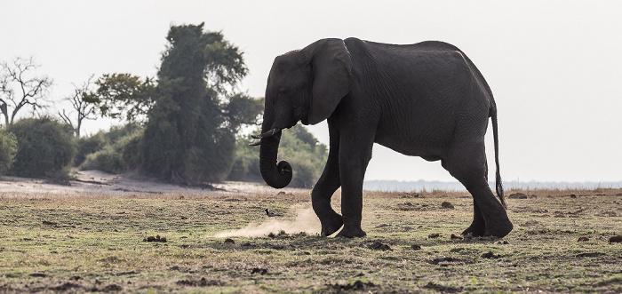 Chobe National Park Afrikanischer Elefant (Loxodonta africana)