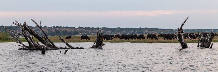 Chobe National Park Chobe, Kaffernbüffel (Schwarzbüffel, Afrikanische Büffel, Syncerus caffer)