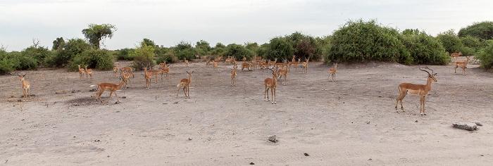 Chobe National Park Impalas (Aepyceros)