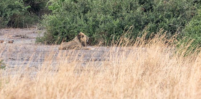 Chobe National Park Löwe (Panthera leo)