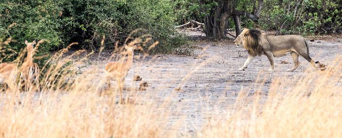 Chobe National Park Löwe (Panthera leo), Impalas (Aepyceros)