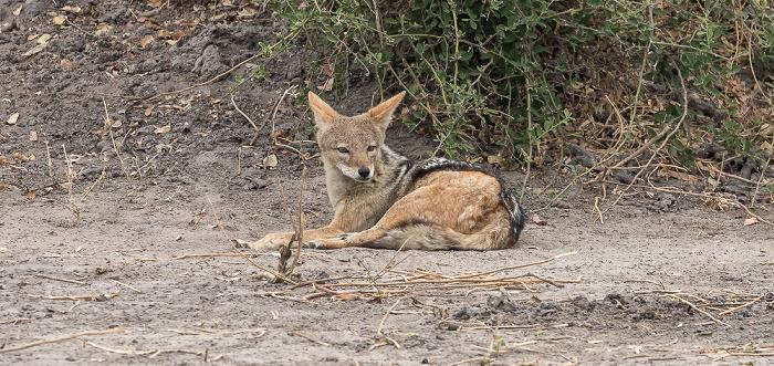 Chobe National Park Schabrackenschakal (Canis mesomelas)