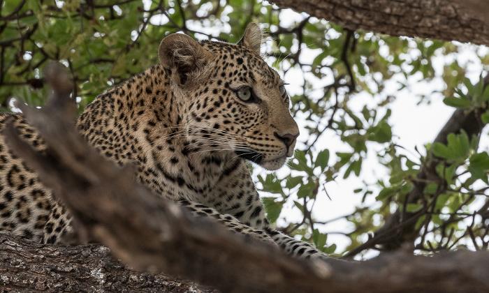 Chobe National Park Leopard (Panthera pardus)