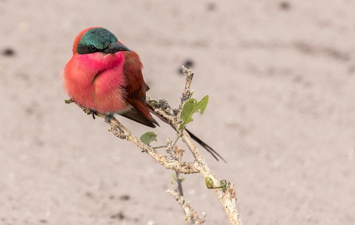 Chobe National Park Scharlachspint (Bienenfresser, Merops nubicus)