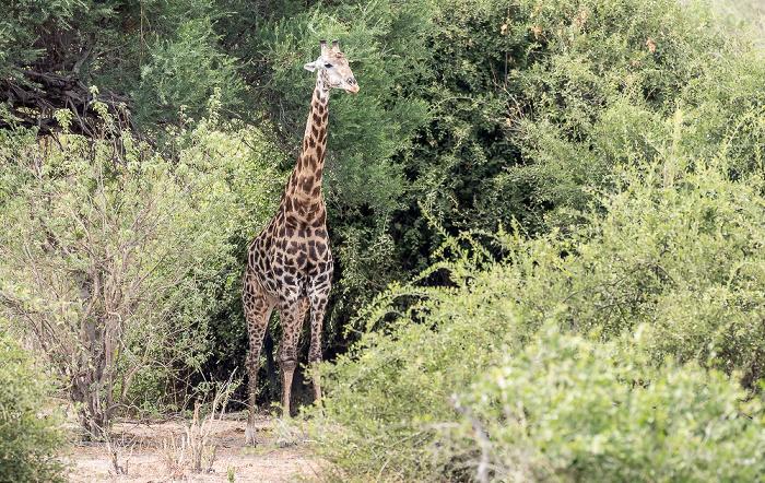 Chobe National Park Angola-Giraffe (Giraffa giraffa angolensis)