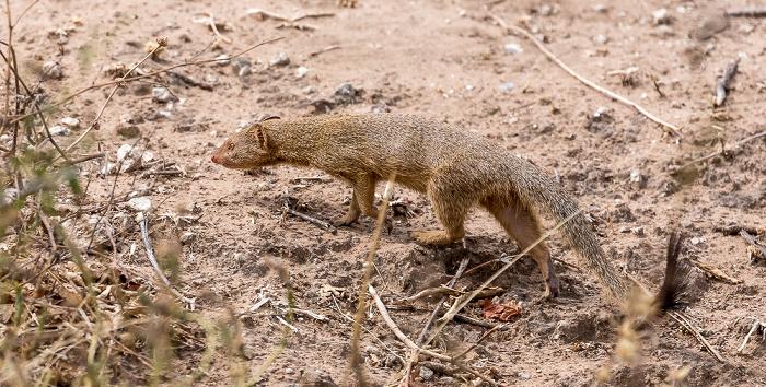Chobe National Park Zwergmanguste (Helogale)