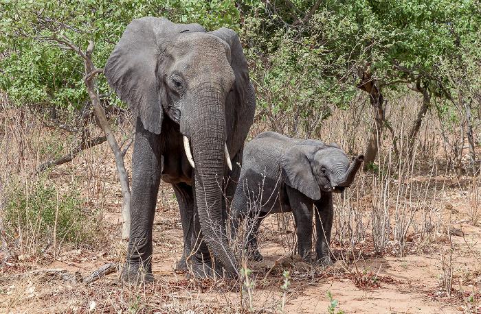 Chobe National Park Afrikanische Elefanten (Loxodonta africana)
