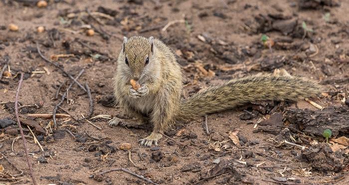 Chobe National Park Afrikanisches Buschhörnchen (Paraxerus)