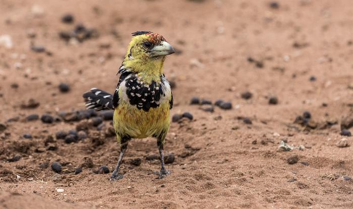 Chobe National Park Hauben-Bartvogel (Schwarzrücken-Bartvogel, Trachyphonus vaillantii)