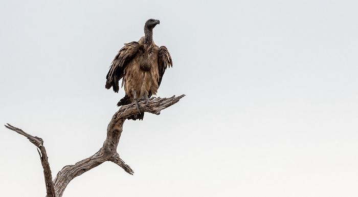 Chobe National Park Altweltgeier (Aegypiinae)