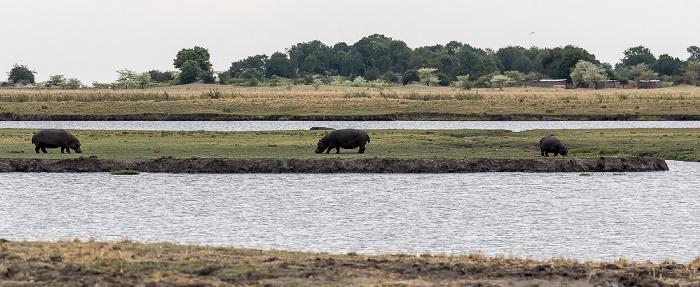 Chobe National Park Flusspferde (Nilpferd, Hippopotamus amphibius)