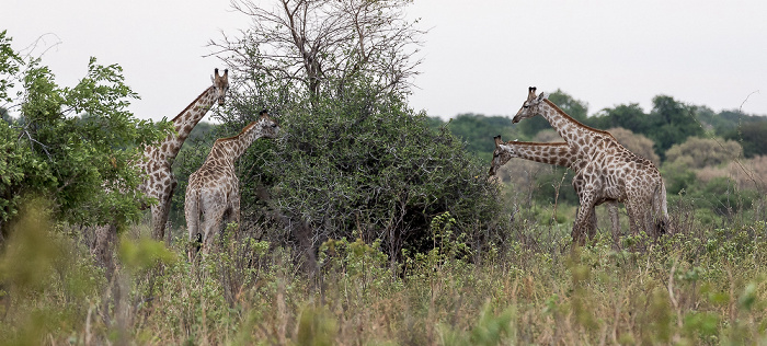 Chobe National Park Angola-Giraffen (Giraffa giraffa angolensis)