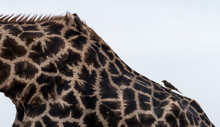 Chobe National Park Angola-Giraffe (Giraffa giraffa angolensis) mit Gelbschnabel-Madenhackern (Buphagus africanus)