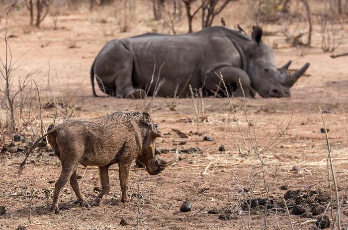 Mosi-oa-Tunya National Park Warzenschwein (Phacochoerus africanus), Südliches Breitmaulnashorn (Ceratotherium simum)