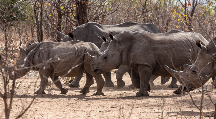 Mosi-oa-Tunya National Park Südliche Breitmaulnashörner